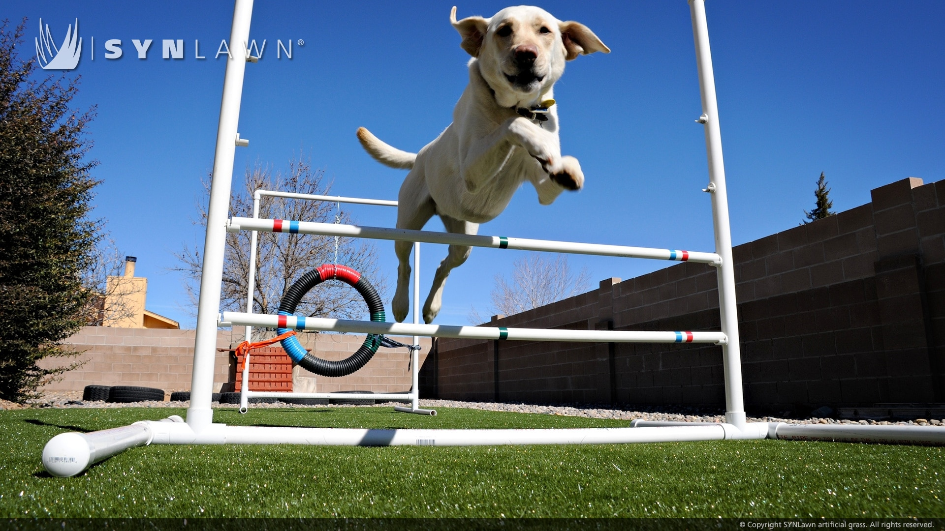 dog playing on dog  friendly artificial grass